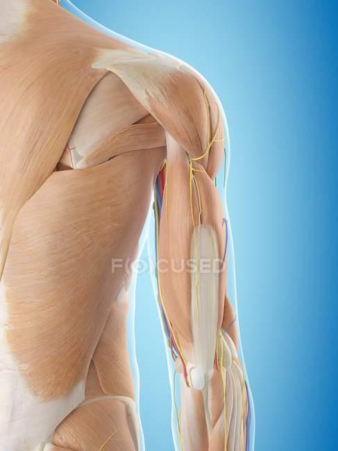 Кровоснабжение плеч — стоковое фото
