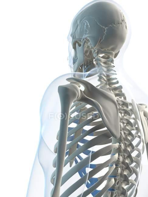Hombros de hombre esqueleto foto de stock 160229238