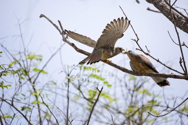 Меншою Боривітер птахів, харчуючись гілки дерев. — стокове фото