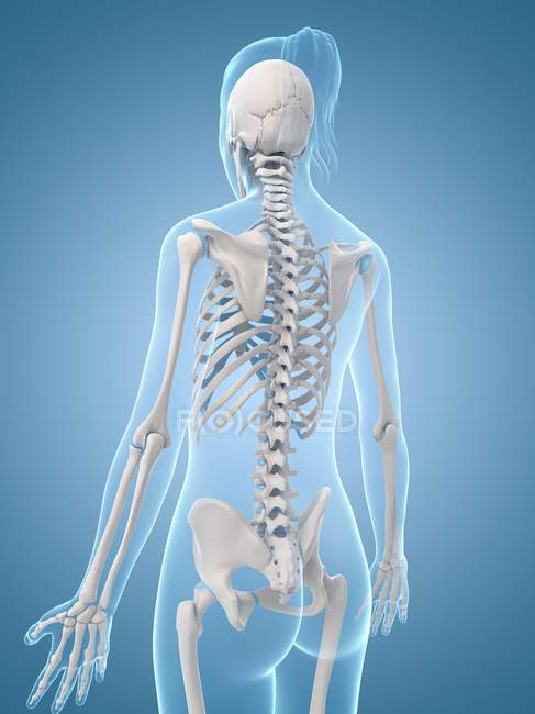 Cervical And Thoracic Spine Regions Stock Photo 160229294