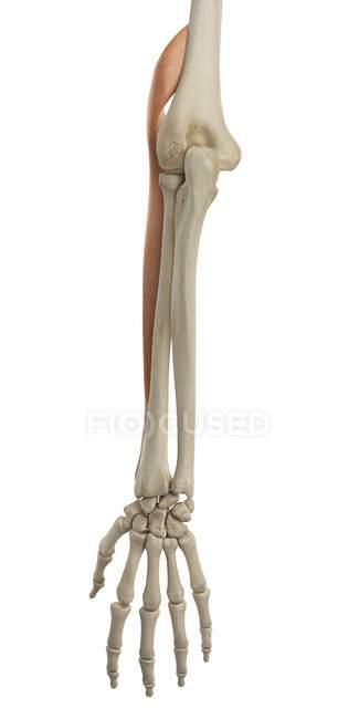 Estrutura De Osso Do Braço Inferior E Anatomia Funcional