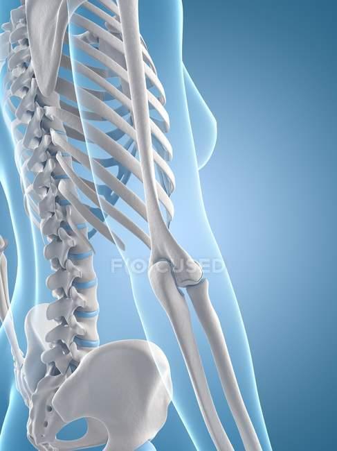 Espina dorsal, caja torácica y huesos del brazo - foto de stock