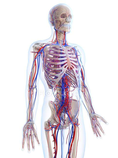 Male vascular system — Stock Photo | #160229408