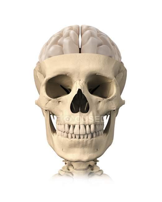 Calavera humana y anatomía cerebral - foto de stock