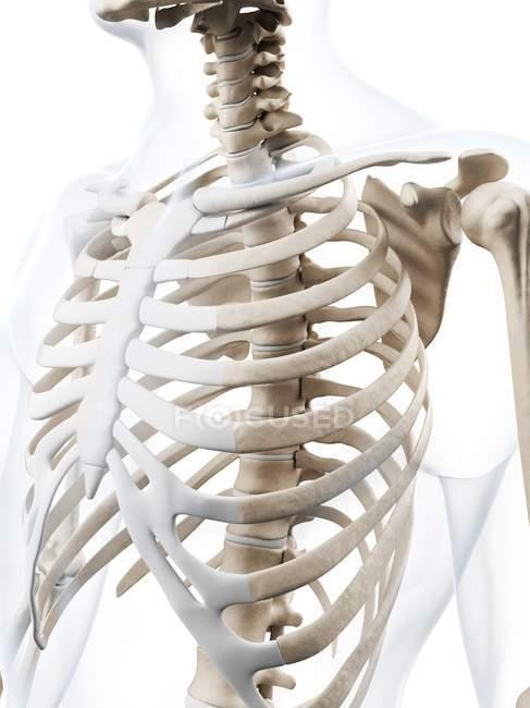 Anatomía de la caja torácica humana - foto de stock