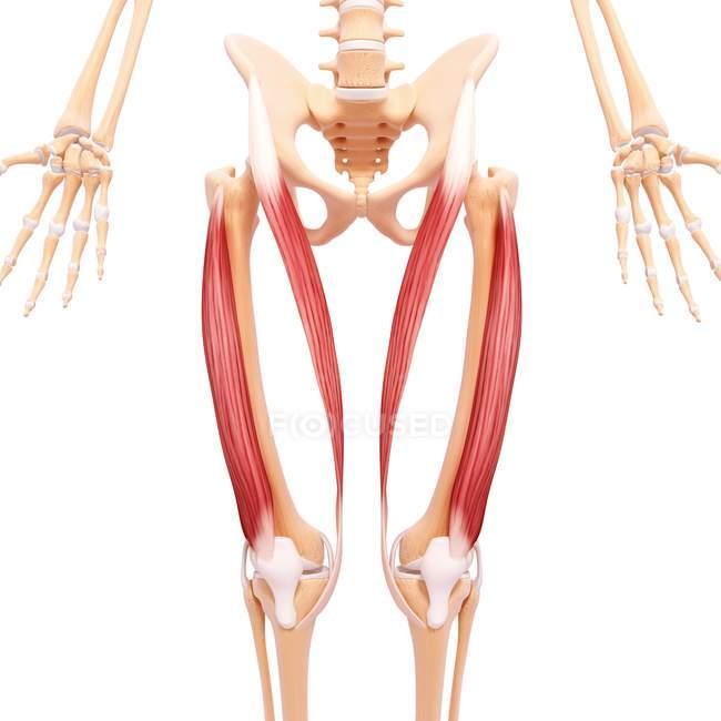 Menschliche Beine Muskulatur — Stockfoto | #160287568