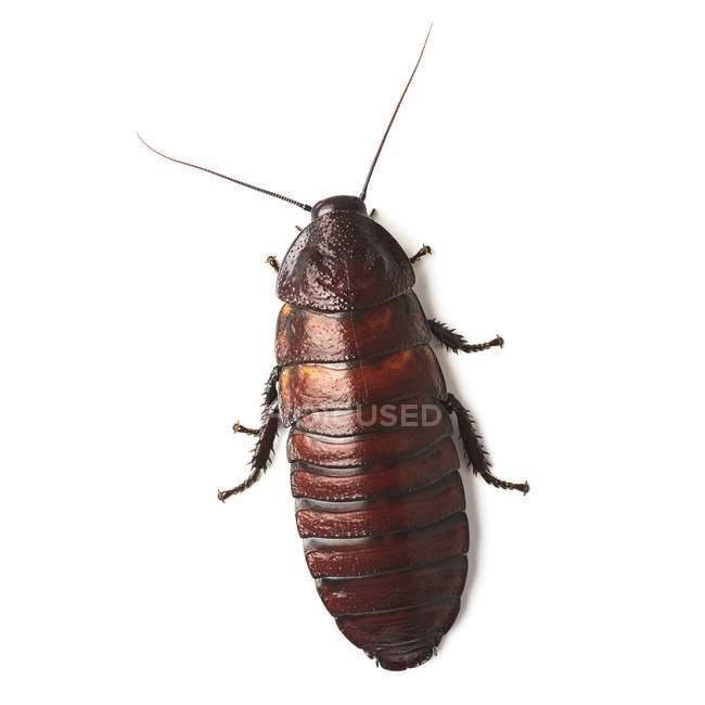 Шипящий таракан Мадагаскара — стоковое фото