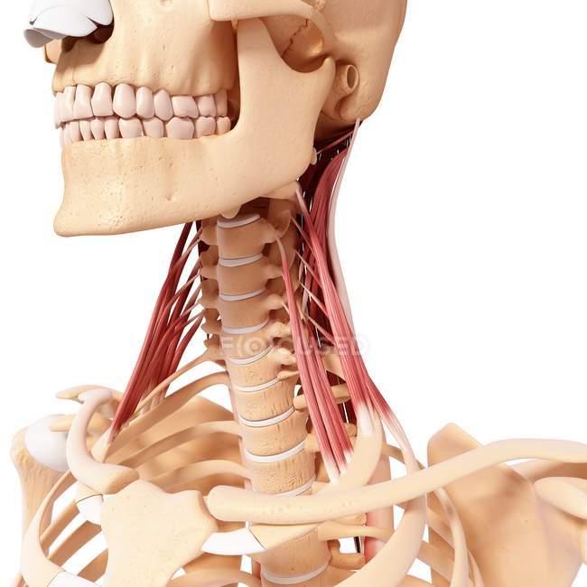 Musculatura del cuello humano - foto de stock