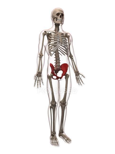 Ansicht der Hüftknochen — Stockfoto | #160287714