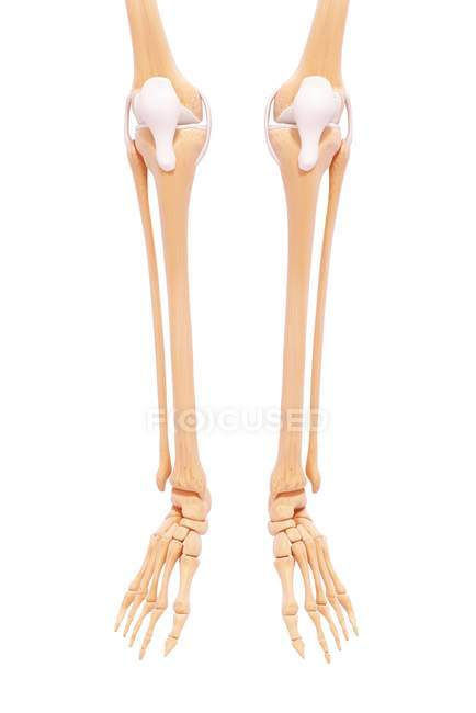Huesos de la pierna y el pie inferiores - foto de stock | #160287802