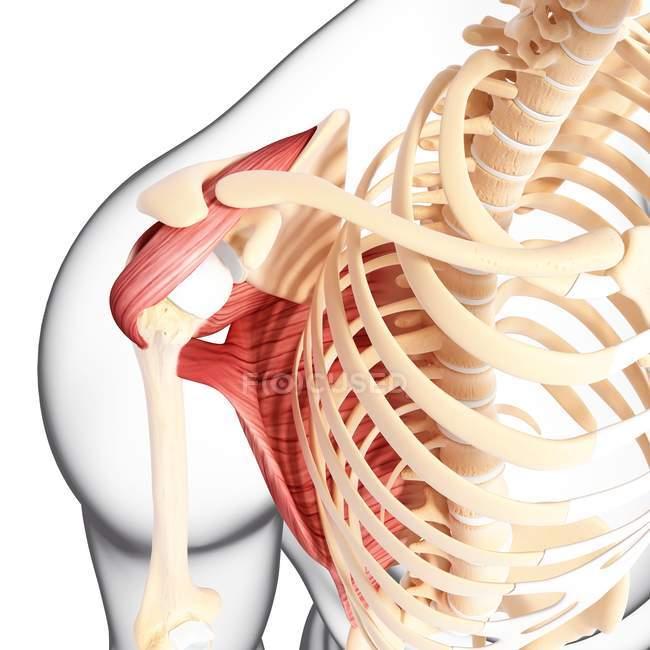Menschlichen Schulter Muskulatur — Stockfoto | #160287816