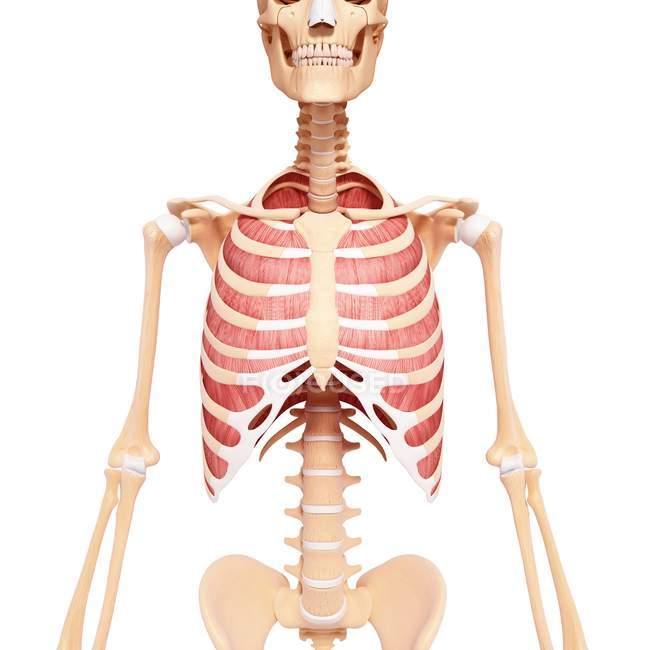 Musculatura intecostal humana - foto de stock