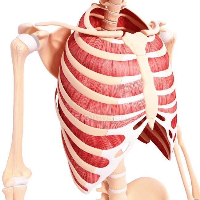 Musculatura intercostal humana - foto de stock