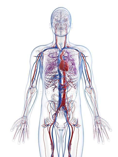 Sistema vascular humano - foto de stock