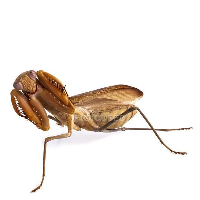 Mantis africana en peligrosa para la pose - foto de stock