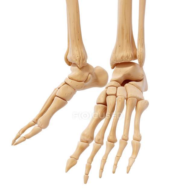 Human Foot Bones Structural Anatomy Stock Photo 160287982