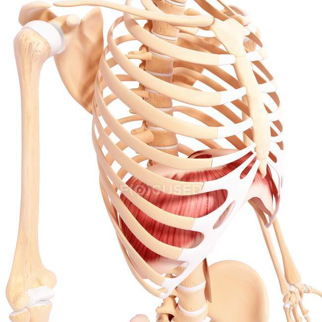 Thoracic diaphragm muscles — Stock Photo   #160288020