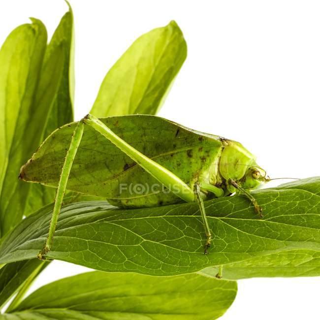 Katydid розміщення на листя — стокове фото