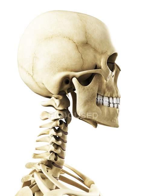 Visualización del cráneo humano - foto de stock