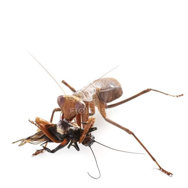Африканський mantis їдять крикет чорні поля — стокове фото