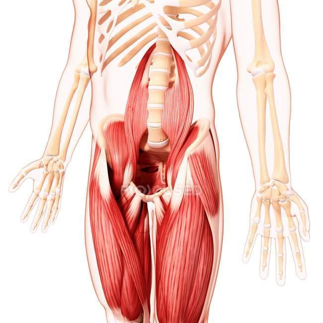 Músculo de quadris humanos — Fotografia de Stock