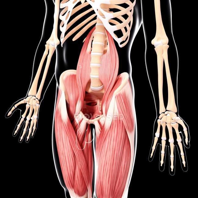Musculatura de la pierna humana - foto de stock