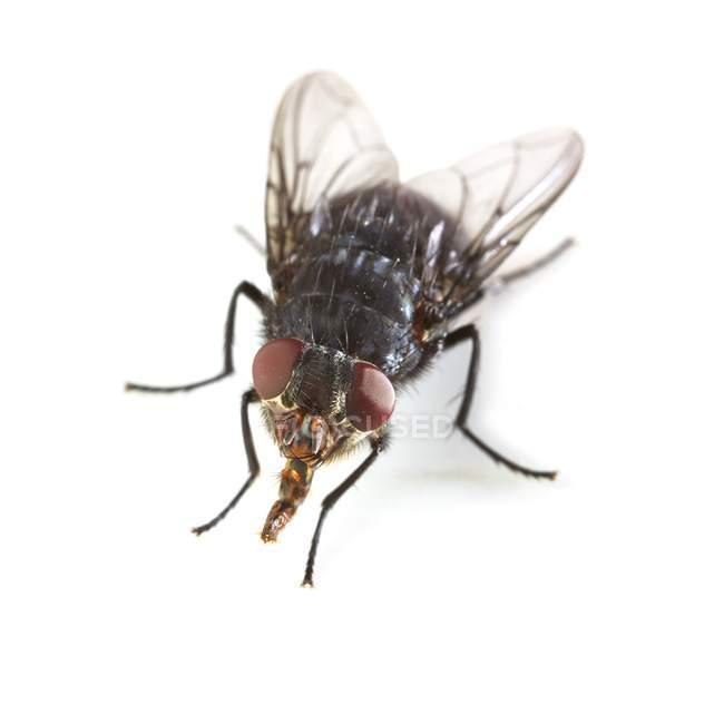 Fly di Bluebottle maturo — Foto stock