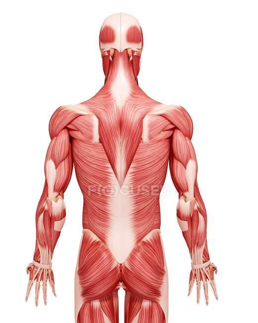 Anatomía de la musculatura masculina - foto de stock | #160288682