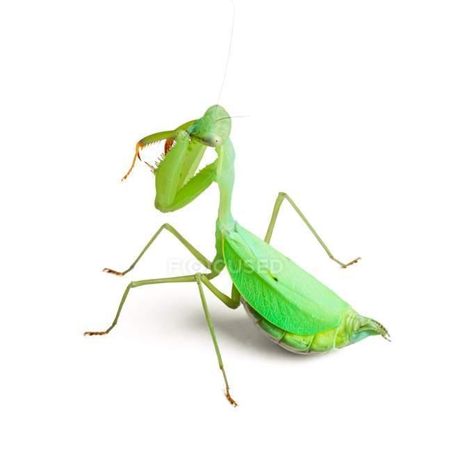 Pregnant female Praying mantis — white background, rear view - Stock