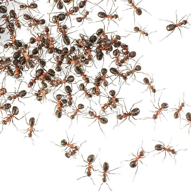 Colonia de hormigas de madera - foto de stock