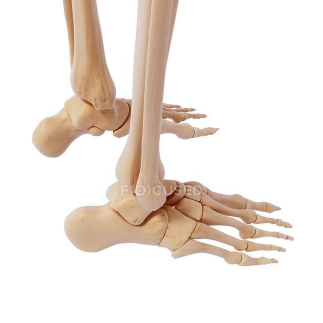 Human foot bones structural anatomy — Stock Photo