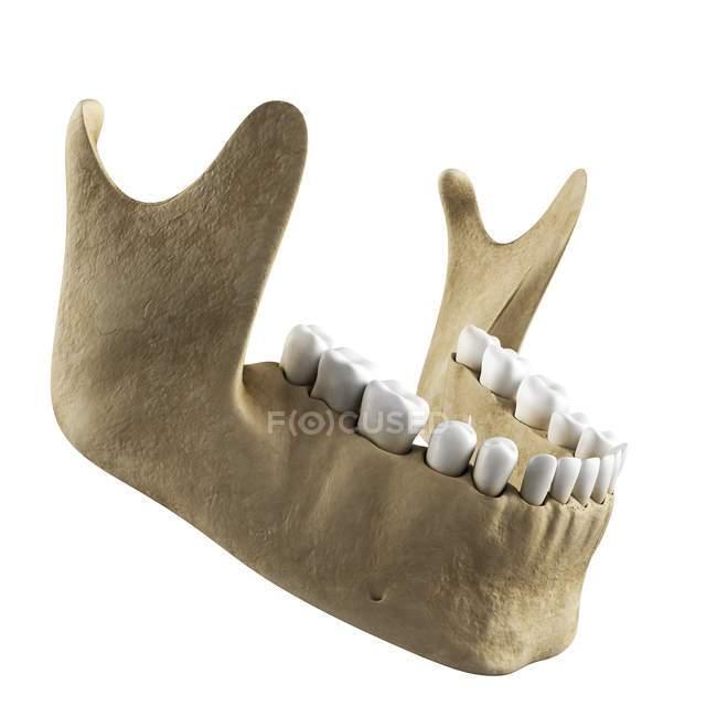 Human Jawbone Anatomy Stock Photo 160288950
