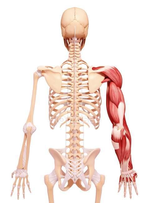 Menschlicher Arm-Muskulatur — Stockfoto   #160289042