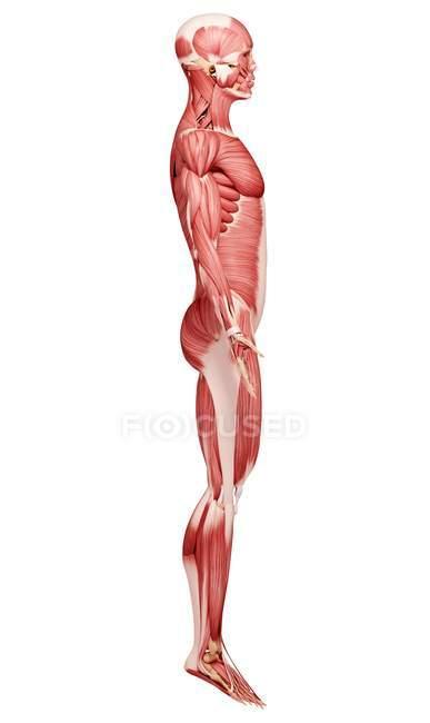 Männliche Muskulatur Anatomie — Stockfoto | #160289052