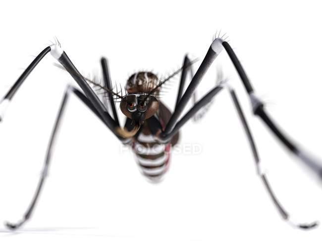 Mosquito fêmea adulta — Fotografia de Stock