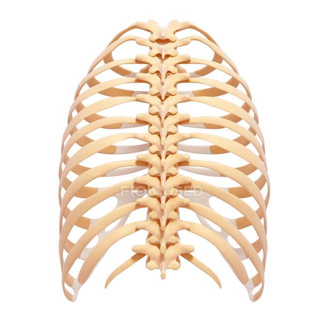 Human Rib Cage Anatomy Stock Photo 160289116