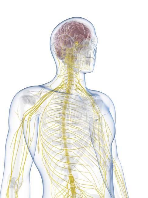 Human Nervous System Stock Photo 160289200