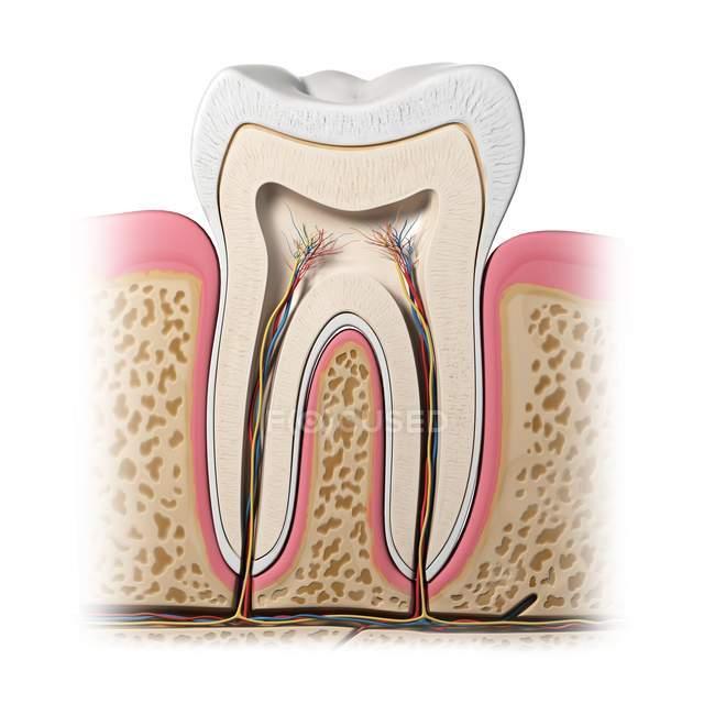 Anatomia sana dei denti — Foto stock