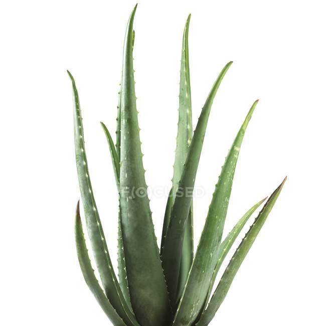 Aloe Vera Pflanze — Stockfoto