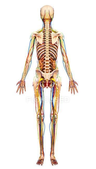 Weibliche strukturellen Anatomie — Stockfoto   #160289342