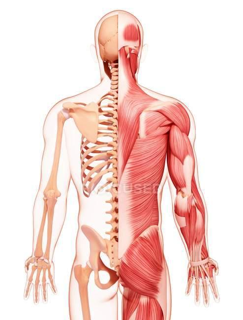 Human back musculature — Stock Photo | #160289362