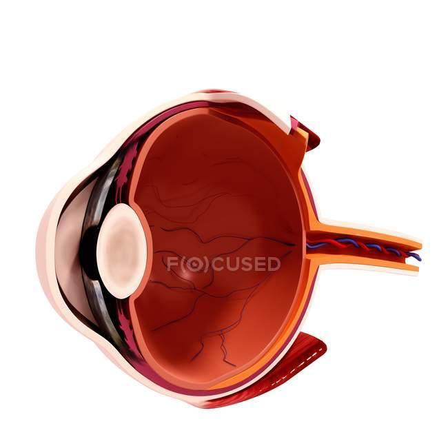 Anatomia dos olhos humanos — Fotografia de Stock