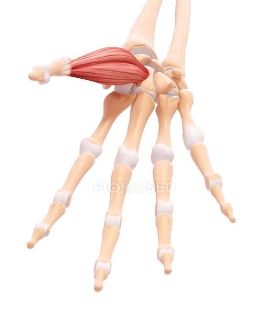 Musculatura de la mano humana - foto de stock
