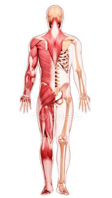Вид сзади человеческой мускулатуры — стоковое фото