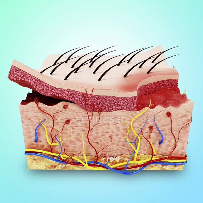 Visual Render Of Human Skin Anatomy Side View Cross Section