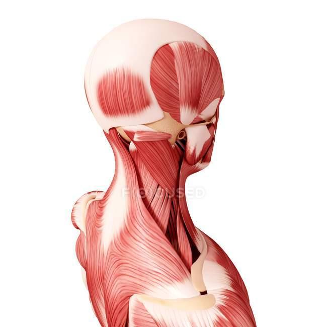 Menschlichen Kopf Muskulatur — Stockfoto | #160289516