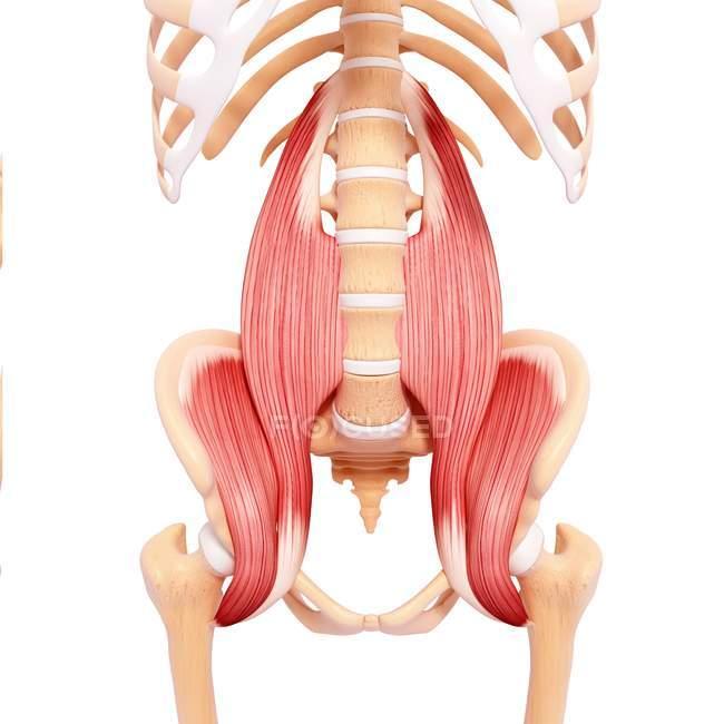 Menschlichen Psoas wichtigen Muskulatur — Stockfoto | #160289566