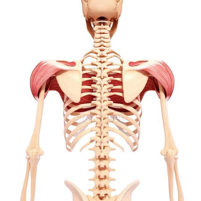 Menschlichen Schulter Muskulatur — Stockfoto | #160289586