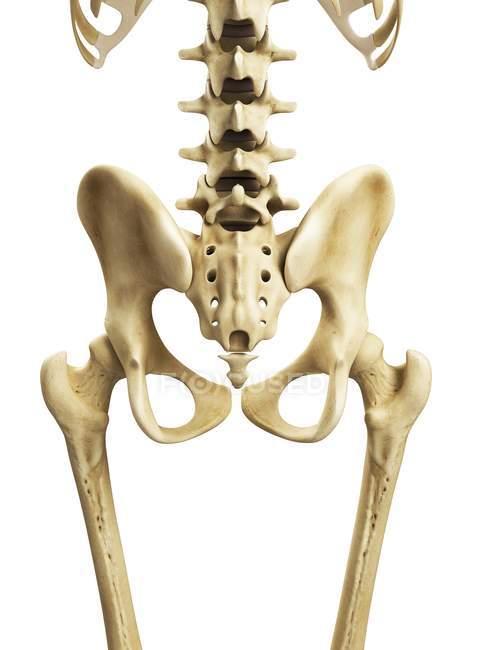 Visual Render Of Hip Bones Stock Photo 160289614