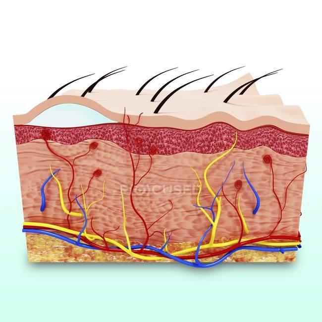 Человеческая анатомия кожи — стоковое фото
